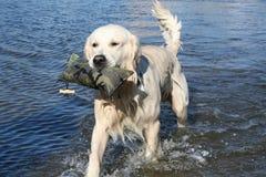 Holen des Apportierhunds Lizenzfreie Stockfotografie