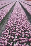 holenderów kwiaty Obrazy Royalty Free