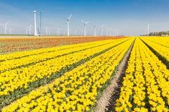 Holenderów pola z żółtymi tulipanami i silnikami wiatrowymi Fotografia Stock