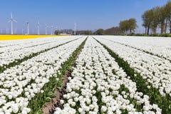 Holenderów pola z białymi silnikami wiatrowymi i tulipanami zdjęcia stock