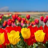 Holendera krajobraz z kolorowymi tulipanami Obraz Royalty Free