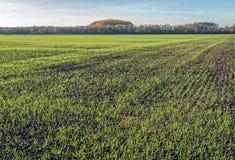 Holendera krajobraz z ostatnio siającą trawą w długich rzędach r wewnątrz fotografia royalty free