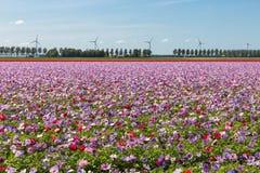 Holendera pole z purpurowymi kwitnącymi anemonami fotografia stock