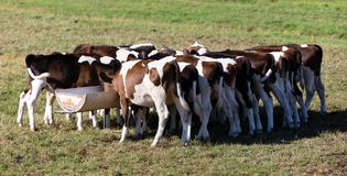 Holenderscy calfs Fotografia Stock