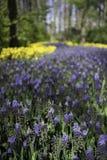 Holenderscy purpur I koloru żółtego Lasowi kwiaty Zdjęcia Stock