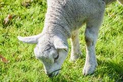 Holenderska Jagnięca łasowanie trawa Przy Duivendrecht holandie Obrazy Stock