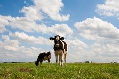 holenderska krowa Obrazy Royalty Free