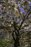 Holenderski okwitnięcia drzewo Obraz Royalty Free