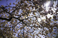 Holenderski okwitnięcia drzewo Zdjęcie Stock
