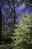 Holenderski okwitnięcia drzewo 3 Zdjęcie Stock