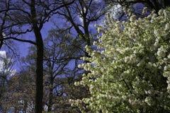 Holenderski okwitnięcia drzewo Obraz Stock