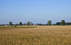 Holenderski Wheatfield w lecie Zdjęcie Royalty Free