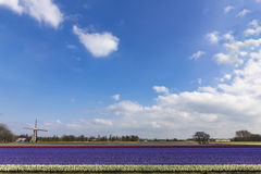 Holenderski wielo- koloru hyacinthe bullb gospodarstwo rolne Fotografia Stock