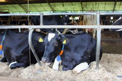 Holenderskie czarne białe krowy cowshed, holandie Zdjęcie Royalty Free