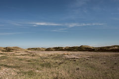 Holenderskie diuny z górskimi krowami Petten Zwanenwater Obraz Stock