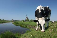 Holenderskie krowy Obraz Royalty Free
