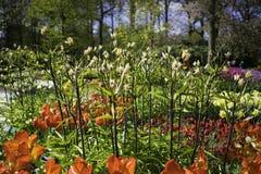 Holendery Dobierający kwiaty Zdjęcia Royalty Free