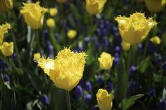 Holendery Dobierający kwiaty Fotografia Royalty Free