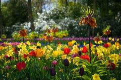 Holendery Dobierający kwiaty 3 Obraz Royalty Free