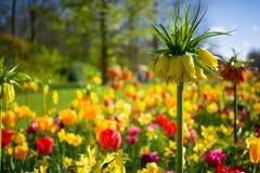 Holendery Dobierający kwiaty 4 Zdjęcie Royalty Free