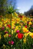 Holendery Dobierający kwiaty 5 Zdjęcia Stock