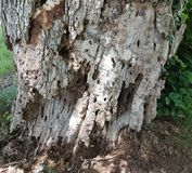 Holes in decaying tree trunk Royalty Free Stock Photography