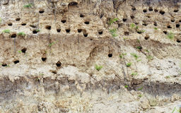 Holes dug by swallows in river bank Stock Images