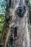 Holes In Tree Trunk 2 Royalty Free Stock Photography