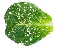 Holey cabbage leaf Royalty Free Stock Photo