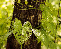 Leaf with holes heart shape. Air potatoes vine leaves climbing tree trunk covered by tiny holes Stock Photography