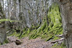 Holford Beeches. 