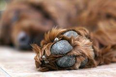 Holgazanería del perro Foto de archivo