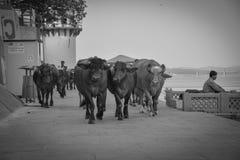 Holi甘加母牛,瓦腊纳西,印度 库存图片