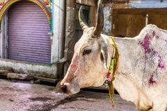 Holi Cow on  the Holi festival in New Delhi Royalty Free Stock Photo