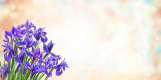 Holiday background with iris flowers royalty free stock photos