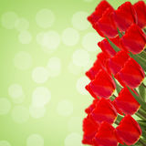 Holiday background with tulips  and empty  place for your text Stock Image