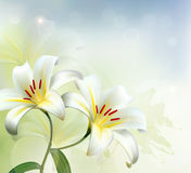 Holiday background with two white lilies Stock Photos