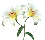Holiday background with two white lilies. Stock Images