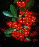 Holiday berries 1 Stock Images