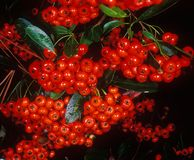 Holiday berries 2. Red holiday berries on a black background after a rain Royalty Free Stock Image