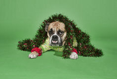 Holiday Bulldog Royalty Free Stock Photography