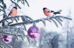 Holiday card with a beautiful plump couple red bird bullfinch si royalty free stock photos