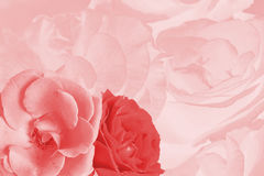 Holiday card with  roses, photo toned in pink Royalty Free Stock Photo