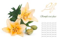 Holiday card with yellow lily Royalty Free Stock Photos