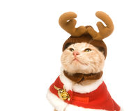 Holiday cat Stock Photography