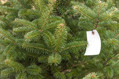 Holiday Christmas pine tree on farm with white blank tag hanging Royalty Free Stock Photo