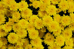 Holiday chrysanthemums Royalty Free Stock Photography