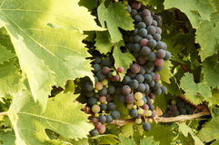 Holiday in the countryside on the hills vineyards of pallagrello Stock Photography
