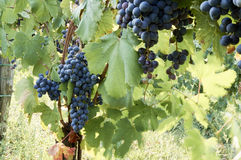 Holiday in the countryside on the hills, visiting the vineyards of pallagrello Royalty Free Stock Photography