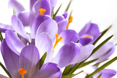 Holiday crocus flowers Stock Photo